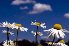 Camomile in a summer meadow Stock Image