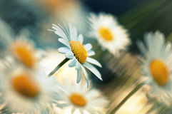 Camomile in sunlight Royalty Free Stock Image