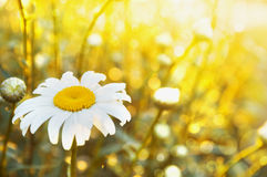 Camomile in sunlight, floral background Stock Images