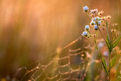 Camomile with sunrise. Wild camomile, herbs in nature Royalty Free Stock Photos