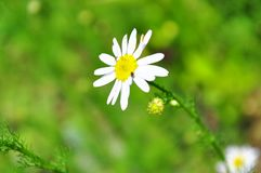 Camomile surrounded by a green field stock photos