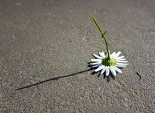 Camomile teared away and dropped on asphalt Royalty Free Stock Image