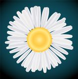 Camomile vector. Close-up of a camomile vector Royalty Free Stock Image
