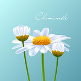 Camomile Vector Royalty Free Stock Images