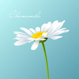 Camomile Vector Stock Photography