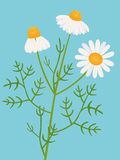 Camomile. Vector illustration of Camomile plant Royalty Free Stock Images