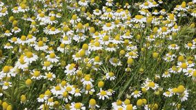 Camomile. The camomile was filmed in Bulgaria Yambol stock footage