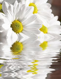 Camomile in water. White camomile  in water.Decorative background Royalty Free Stock Image