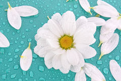 camomile and water drops Stock Photo