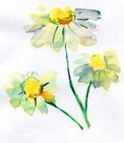 Camomile. watercolor Stock Images