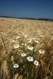 Camomile in wheat field Royalty Free Stock Photo