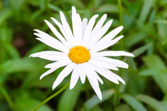 Camomile. White camomile is so beautiful Royalty Free Stock Photo