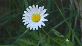 Camomile. stock video footage