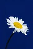 Camomile. White large camomile on a blue background Stock Image
