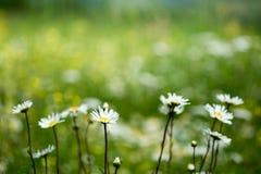 Camomile on a wild meadow. Stock Photos