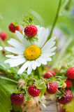 Camomile and wild strawberry Stock Photography