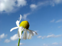 Camomile in the wind Royalty Free Stock Image