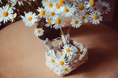 Camomile. Royalty Free Stock Image