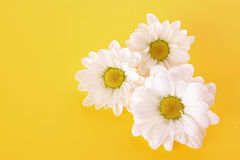 Camomile on yellow Stock Images