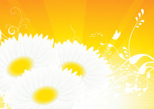Camomile yellow background Royalty Free Stock Image