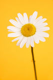 Camomile on yellow background Royalty Free Stock Photos