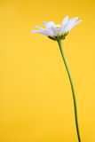 Camomile on yellow background Royalty Free Stock Image