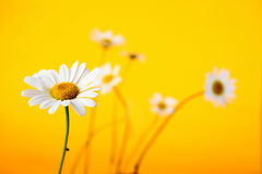 Camomile on yellow background Royalty Free Stock Images