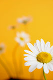Camomile on yellow background Royalty Free Stock Photography