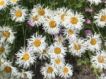 camomilechamomillaen blommar illustrationmatricariavektorn Royaltyfri Fotografi