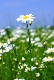 camomilen blommar ängen Arkivbilder