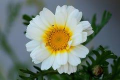 camomiles花的领域 库存图片