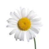camomiles απομονωμένο λευκό Στοκ Φωτογραφίες