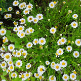 camomiles λευκό Στοκ Εικόνες