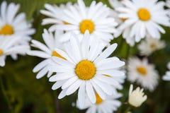 camomiles λευκό Στοκ φωτογραφία με δικαίωμα ελεύθερης χρήσης