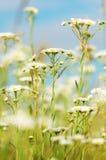 camomiles λιβάδι Στοκ Εικόνες