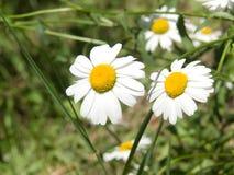 camomiles λουλούδια Στοκ φωτογραφίες με δικαίωμα ελεύθερης χρήσης