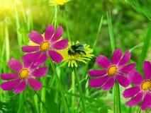 camomiles λουλούδια Στοκ Εικόνα