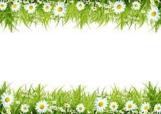 camomiles белые Стоковое Фото