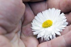 camomiles белые Стоковые Фото