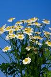 camomiles белые Стоковое Изображение