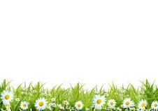 camomiles засевают белизна травой Стоковая Фотография RF