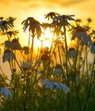 Camomiles утра Стоковая Фотография RF