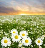 Camomiles Stock Images