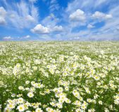 Camomiles Royalty Free Stock Images