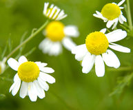 Free Camomiles Royalty Free Stock Image - 169086
