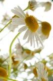 Camomiles. Foto de archivo libre de regalías