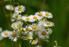 Camomiles. In the filed in summer Royalty Free Stock Images