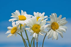 Camomiles against the sky. White camomiles against the sky stock images