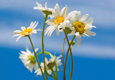 Camomiles against the sky Royalty Free Stock Images