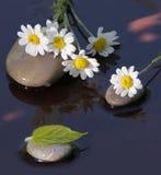 Camomiles bagnati sulle pietre per la stazione termale fotografie stock libere da diritti